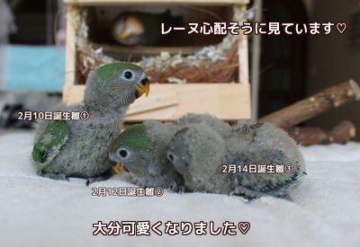 ロワレーヌの3羽の雛3