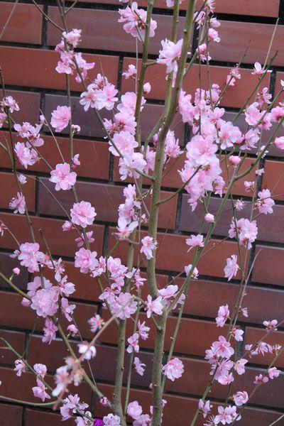 可愛い花桃