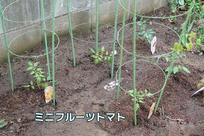 ミニフルーツトマト苗