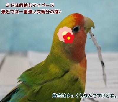 強いママ鳥