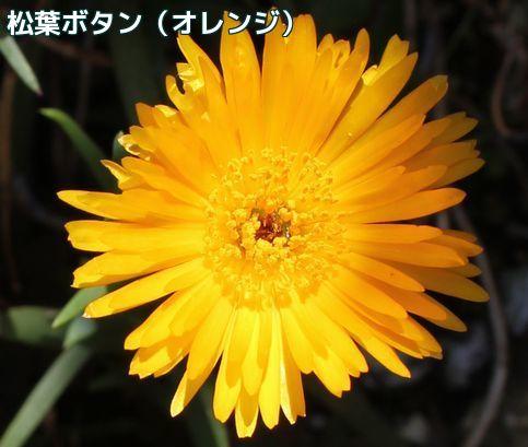 松葉ボタンオレンジ
