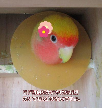 巣箱のミド
