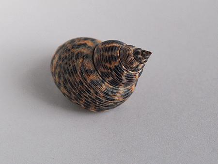 ウズラタマキビ-殻頂