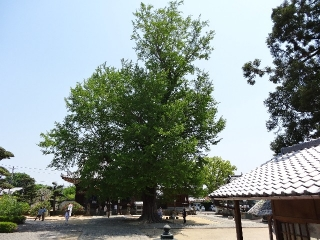 5地蔵寺-銀杏26
