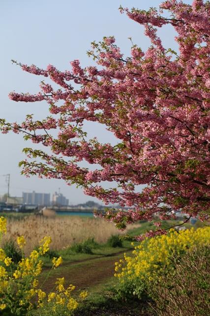 小出川の河津桜