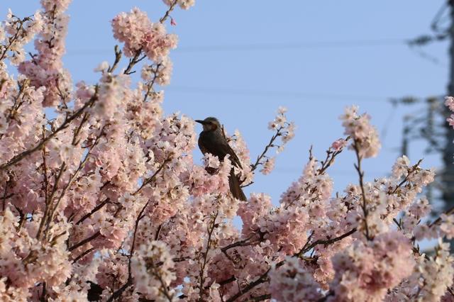 ヒヨドリと河津桜