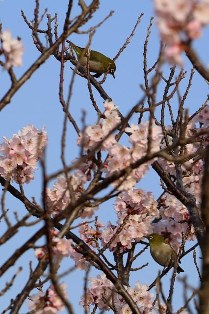負けじと桜の蜜を夢中ですうメジロ