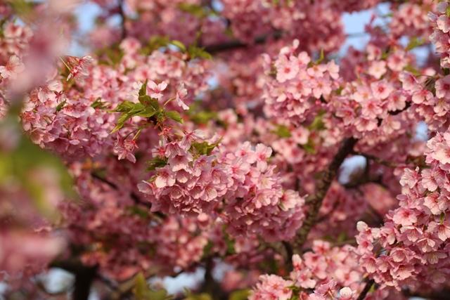 圧巻の河津桜