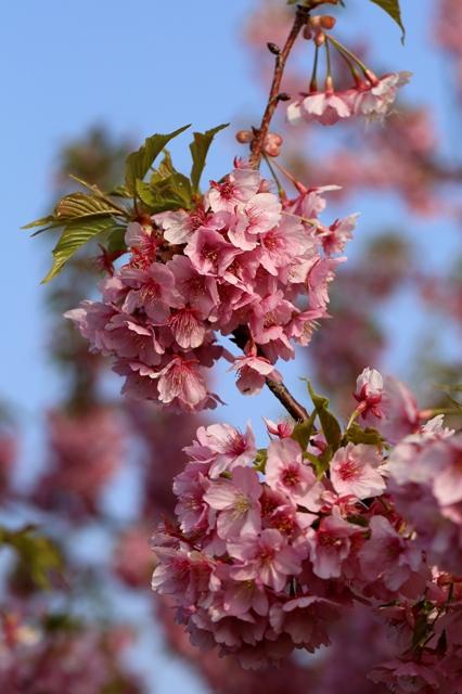 花付き抜群の河津桜