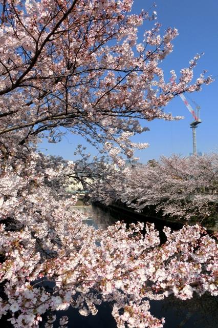 目黒川河口の桜
