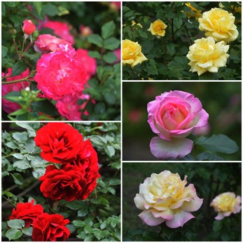 豊平公園薔薇園2015