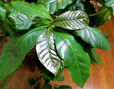 我が家のコーヒーの木は35歳REVdownsize
