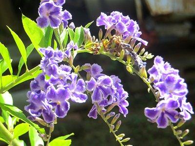 庭の花:逆光を受ける薄紫の花(3)downsize