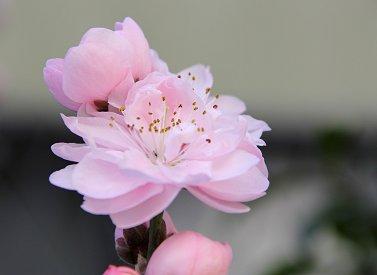 庭の花ピンクの梅の花(10)REVdownsize