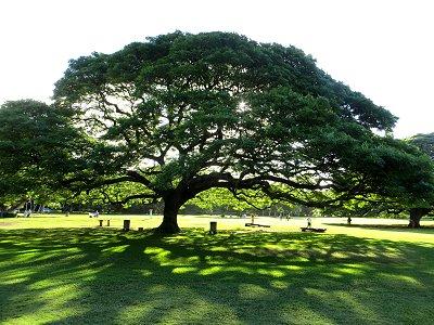 芝生に大きなモンキーポッドの影downsize