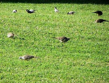 芝生をついばむ早起き鳥REVdownsize