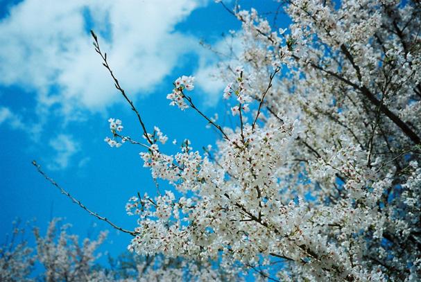 shio_sakura_20150712213038733.jpg