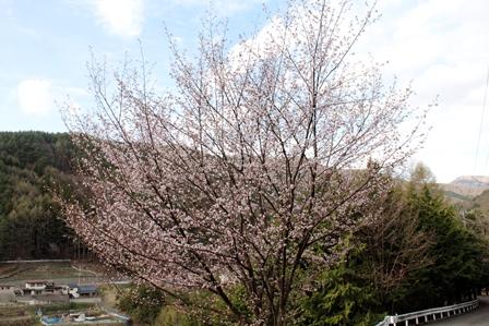 林道 桜3