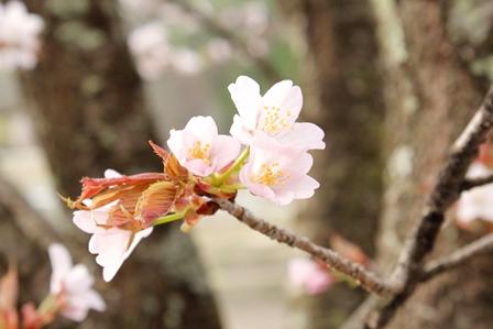 林道桜アップ2