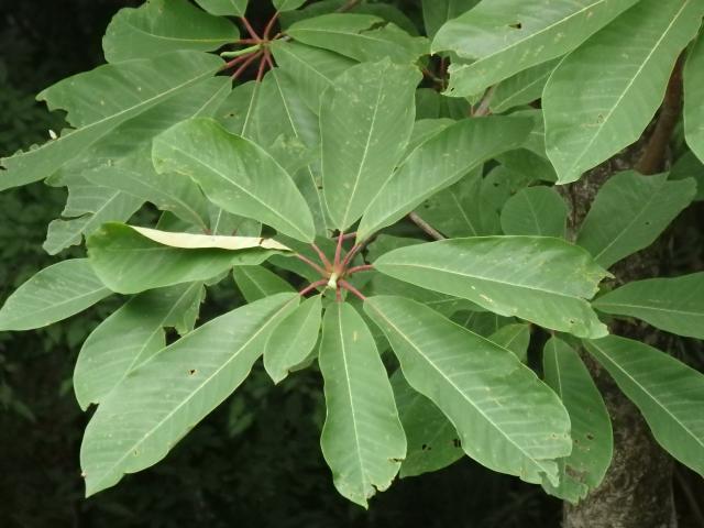 ホウノキの葉はお皿の代用