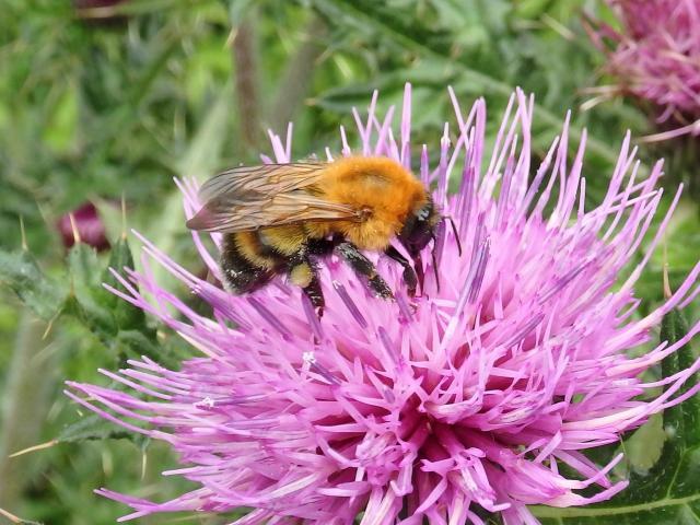 ミヤママルハナバチが花粉を運ぶ
