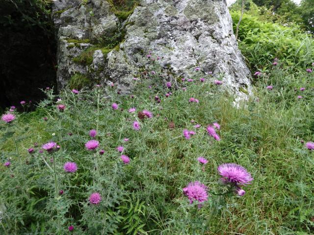トゲアザミのお花畑