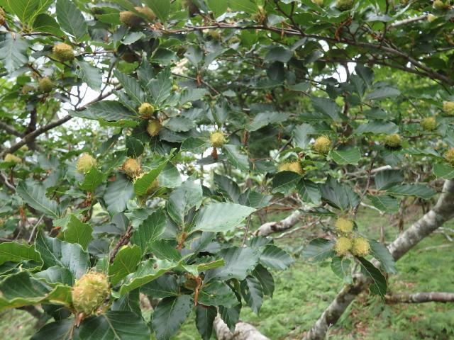 ブナの実の豊作