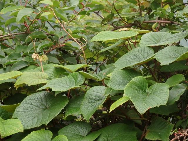 ヤマブドウの大きな葉