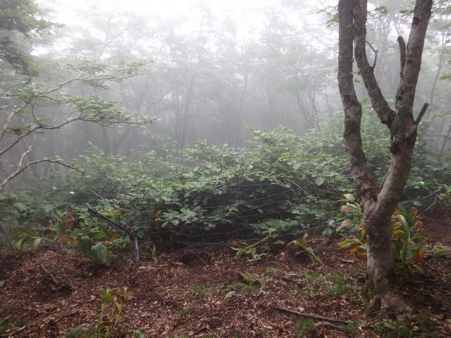 自生地はブナ林の中のギャップ