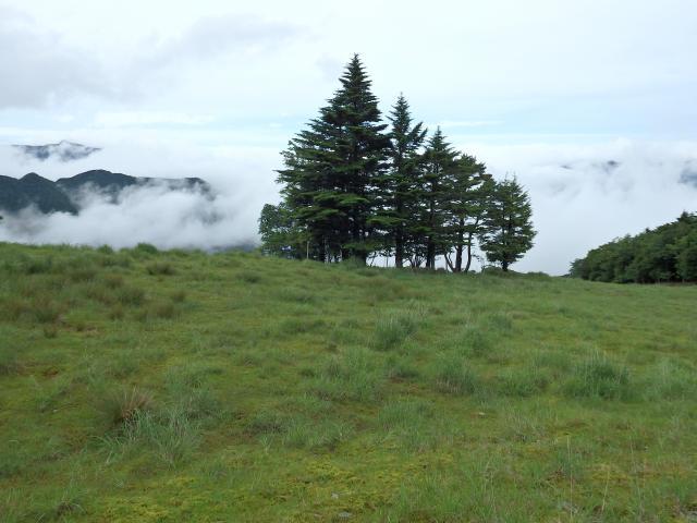 雲海を背景にしたウラジロモミの木