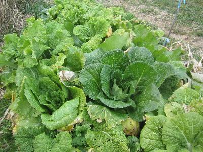 冬に元気な野菜 (3)