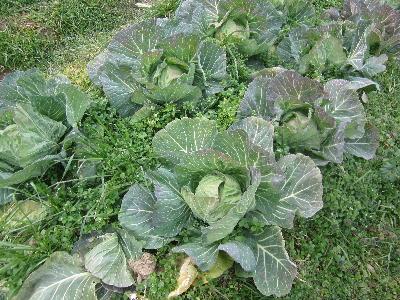 冬に元気な野菜 (2)