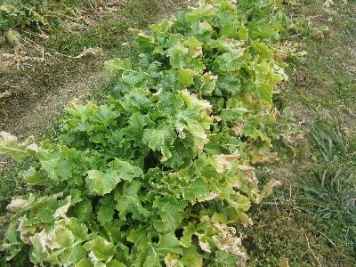 葉のしおれた野菜 (1)