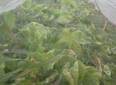 葉のしおれた野菜 (6)