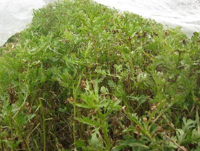 葉のしおれた野菜 (2)