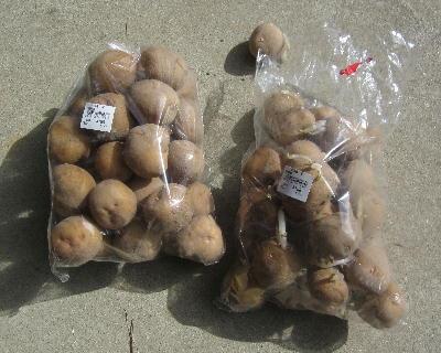 スーパー購入ジャガイモ (1)