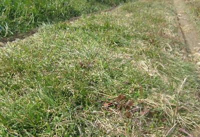 今年の冬の草 (6)