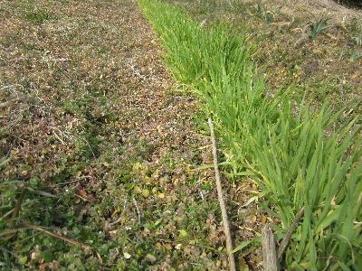 今年の冬の草 (3)