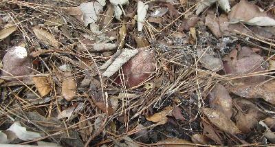 サツマイモの芽出し (3)