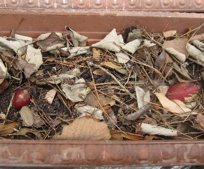サツマイモの芽出し (2)