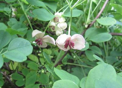 アケビの花 (1)