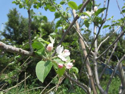 去年のリンゴの花