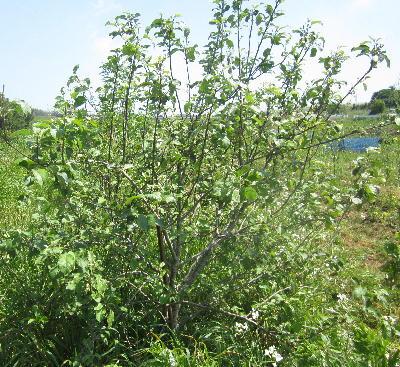 今年のリンゴの木 (1)