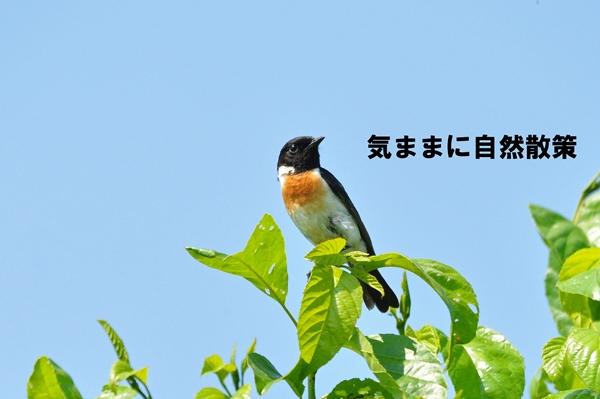 ノビタキ (5)