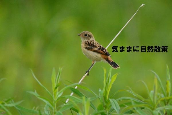 ノビタキ (3)