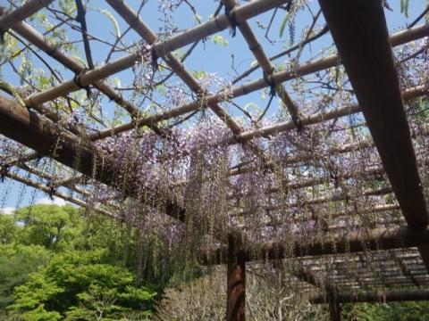 まだまだ続く桜、そして卯の花の始まり