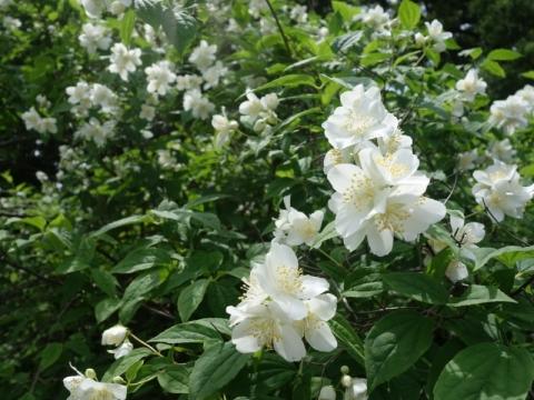 卯の花の季節再び