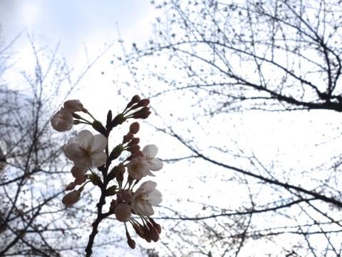 染井吉野が咲きました