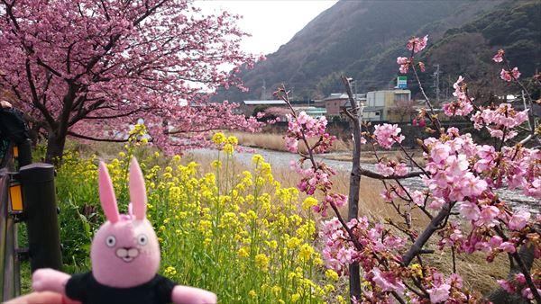河津 桜と菜の花1
