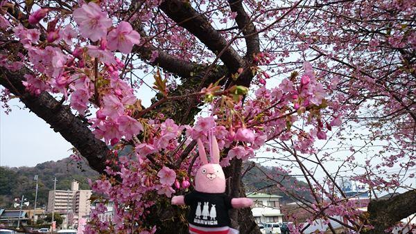 河津 桜と菜の花2